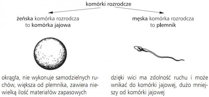 Komórki rozrodcze