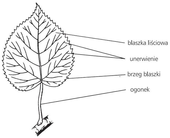 Budowa zewnętrzna liścia