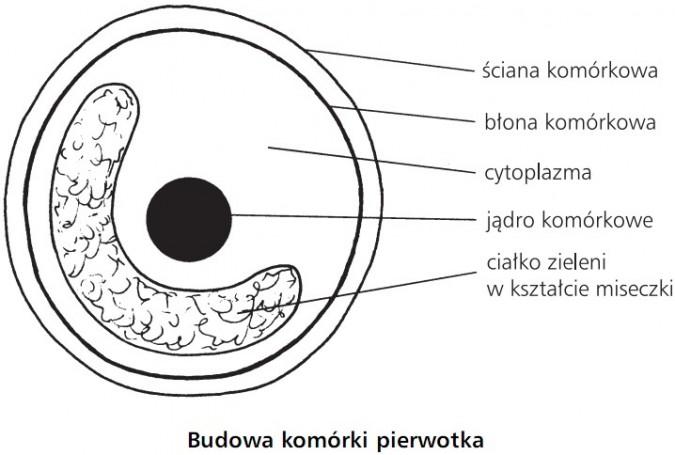 Budowa komórki pierwotka