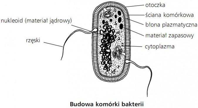 Budowa komórki bakterii. Nukleoid (materiał jądrowy), rzęski, otoczka, ściana komórkowa, błona plazmatyczna, materiał zapasowy, cytoplazma.