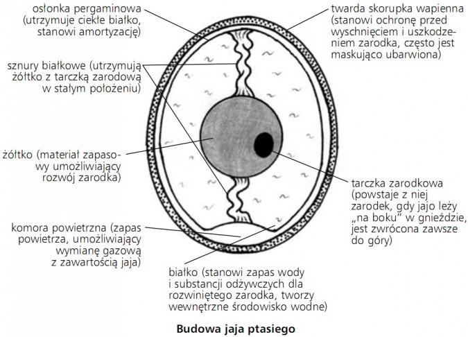 Budowa jaja ptasiego. Osłonka pergaminowa (utrzymuje ciekłe białko, stanowi amortyzację); twarda skorupka wapienna (stanowi ochronę przed wyschnięciem i uszkodzeniem zarodka, często jest maskująco ubarwiona); sznury białkowe (utrzymują żółtko z tarczką zarodową w stałym położeniu); żółtko (materiał zapasowy umożliwiający rozwój zarodka); komora powietrzna (zapas powietrza, umożliwiający wymianę gazową z zawartością jaja); białko (stanowi zapas wody i substancji odżywczych dla rozwiniętego zarodka, tworzy wewnętrzne środowisko wodne); tarczka zarodkowa (powstaje z niej zarodek, gdy jajo leży na boku w gnieździe, jest zwrócona zawsze do góry).