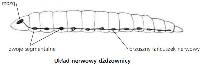 Układ nerwowy dżdżownicy. Mózg, zwoje segmentalne, brzuszny łańcuszek nerwowy.