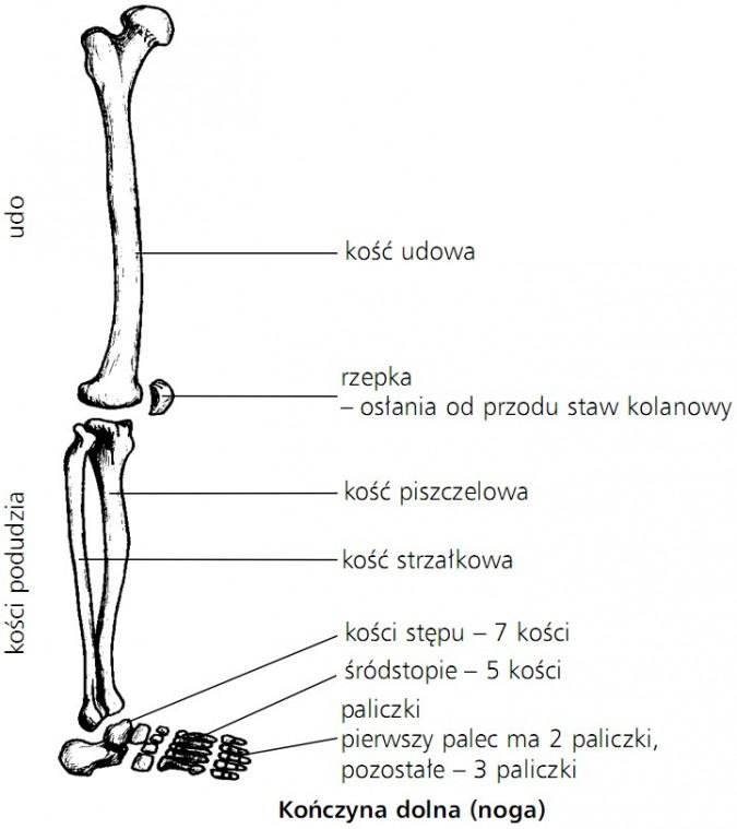 Układ Ruchu Układ Szkieletowy