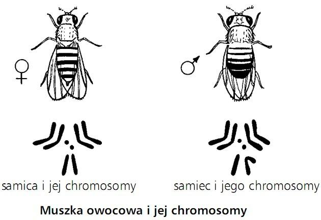 Muszka owocowa i jej chromosomy. Samica i jej chromosomy, samiec i jego chromosomy.