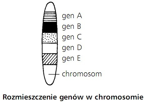 Rozmieszczenie genów w chromosomie. Gen A, gen B, gen C, gen D, gen E, chromosom.