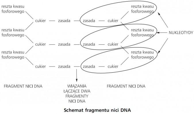Schemat fragmentu nici DNA. Reszta kwasu fosforowego, cukier, zasada, nukleotydy. Fragment nici DNA, wiązania łączące dwa fragmenty nici DNA.
