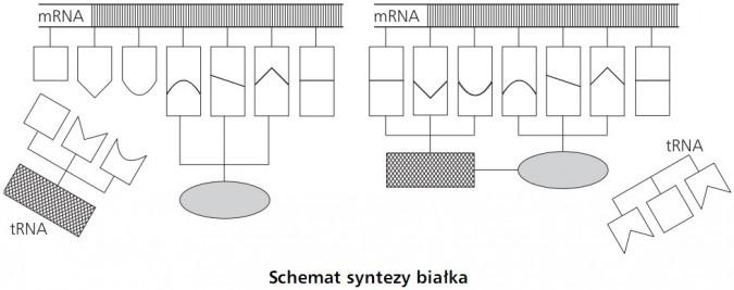 Schemat syntezy białka. mRNA, tRNA.