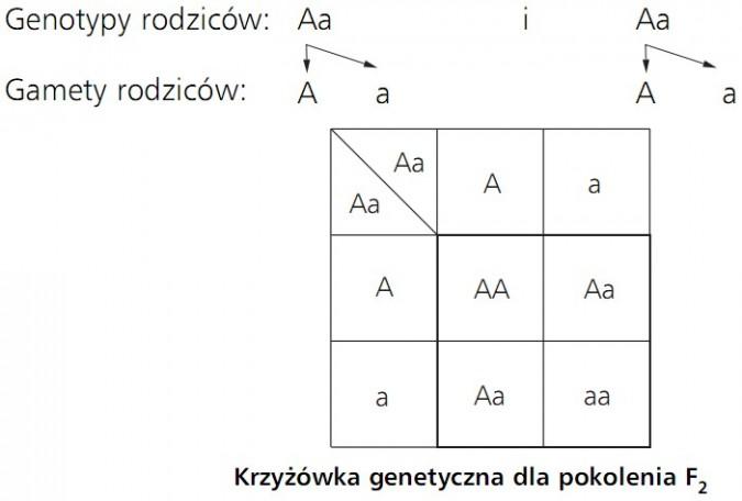 Krzyżówka genetyczna dla pokolenia F2. Genotypy rodziców Aa i Aa. Gamety rodziców: A a i A a.