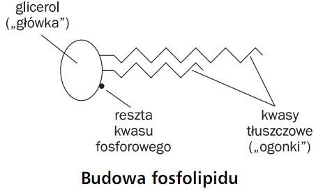 Budowa fosfolipidu. Glicerol (główka), reszta kwasu fosforowego, kwasy tłuszczowe (ogonki).