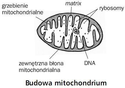 Budowa mitochondrium. Grzebienie mitochondrialne, matrix, rybosomy, zewnętrzna błona mitochondrialna, DNA.