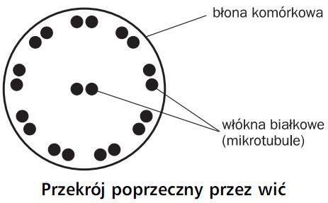 Przekrój poprzeczny przez wić. Błona komórkowa, włókna białkowe (mikrotubule).