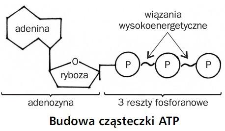 Budowa cząsteczki ATP. Adenina, ryboza, wiązania wysokoenergetyczne, adenozyna, 3 reszty fosforanowe.
