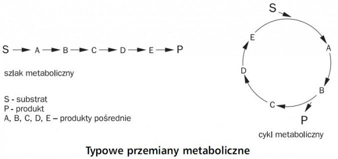 Typowe przemiany metaboliczne. Szlak metaboliczny, substrat, produkt, produkty pośrednie, cykl metaboliczny.