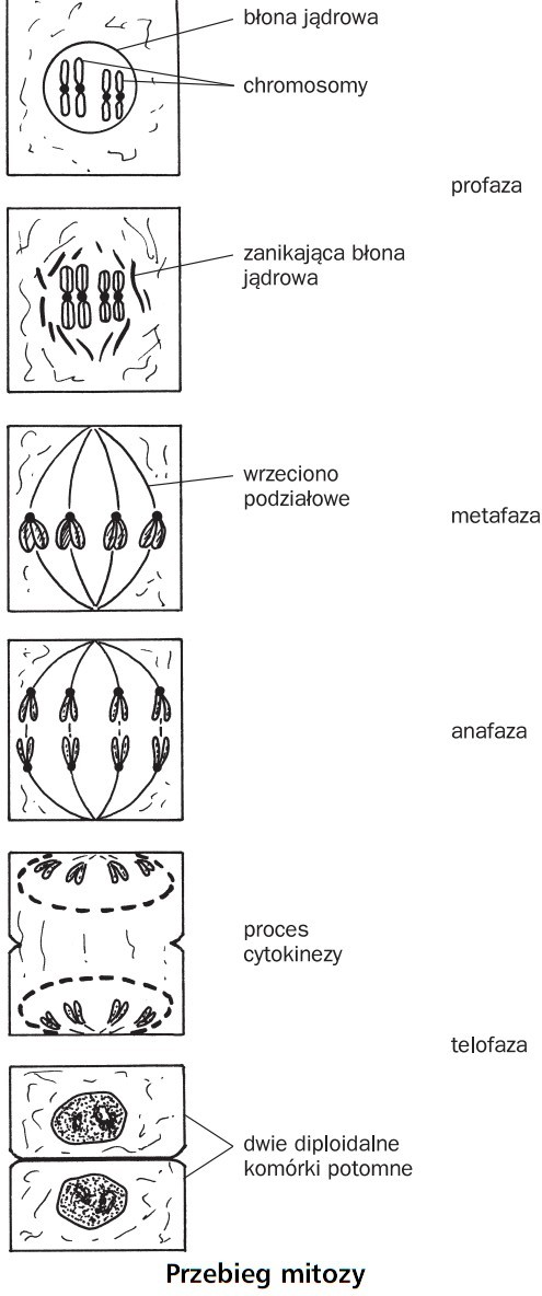 Przebieg mitozy. Błona jądrowa, chromosomy, zanikająca błona jądrowa, wrzeciono podziałowe, proces cytokinezy, dwie diploidalne komórki potomne. Profaza, metafaza, anafaza, telofaza.