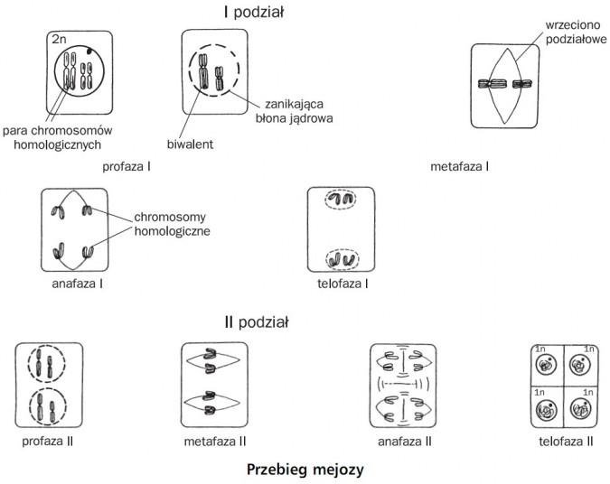 Przebieg mejozy. I podział, II podział. Para chromosomów homologicznych, biwalent, zanikająca błona jądrowa, wrzeciono podziałowe, chromosomy homologiczne. Profaza I, metafaza I, anafaza I, telofaza I, profaza II, metafaza II, anafaza II, telofaza II.