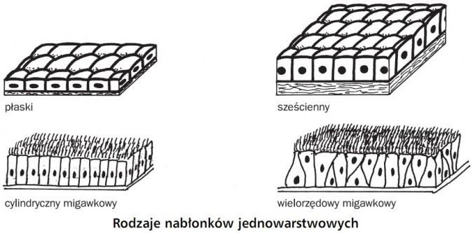 Rodzaje nabłonków jednowarstwowych. Płaski, sześcienny, cylindryczny migawkowy, wielorzędowy migawkowy.