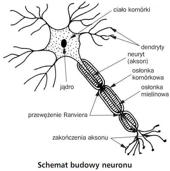 Schemat budowy neuronu. Ciało komórki, jądro, dendryty, neuryt (akson), osłona komórkowa, osłonka mielinowa, przewężenie Ranviera, zakończenia aksonu.