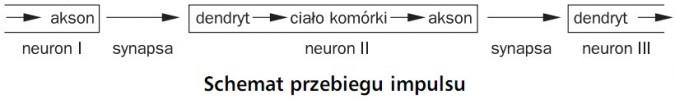 Schemat przebiegu impulsu. Akson, dendryt, ciało komórki, akson, dendryt, neuron I, synapsa, neuron II, synapsa, neuron III.