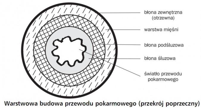 Warstwowa budowa przewodu pokarmowego (przekrój poprzeczny). Błona zewnętrzna (otrzewna), warstwa mięśni, błona podśluzowa, błona śluzowa, światło przewodu pokarmowego.