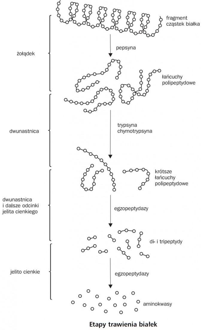 Etapy trawienia białek. Żółądek, dwunastnica, dwunastnica i dalsze odcinki jelita cienkiego, jelito cienkie. Fragment cząstek białka, pepsyna, łańcuchy polipeptydowe, trypsyna, chymotrypsyna, krótsze łańcuchy polipeptydowe, egzopeptydazy, di- i tripeptydy, egzopeptydazy, aminokwasy.