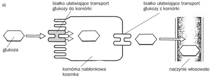 Transport substancji pokarmowych przez komórki nabłonkowe kosmka - wchłanianie glukozy. Glukoza, białko ułatwiające transport glukozy do komórki, komórka nabłonkowa kosmka, białko ułatwiające transport glukozy z komórki, naczynie włosowate.