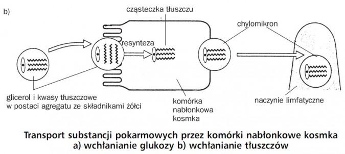 Transport substancji pokarmowych przez komórki nabłonkowe kosmka - wchłanianie tłuszczów. Glicerol i kwasy tłuszczowe w postaci agregatu ze składnikami żółci, resynteza, cząsteczka tłuszczu, komórka nabłonkowa kosmka, chylomikron, naczynie limfatyczne.