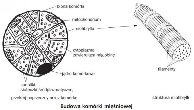 Budowa komórki mięśniowej. Błona komórki, mitochondrium, miofibrylla, cytoplazma zawierająca miglobinę, jądro komórkowe, kanaliki siateczki śródplazmatycznej. Filamenty. Przekrój poprzeczny przez komórkę. Struktura miofibrylli.