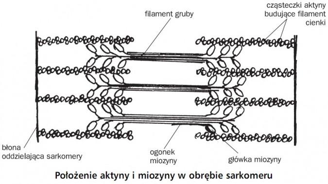 Położenie aktyny i miozyny w obrębie sarkomeru. Błona oddzielająca sarkomery, filament gruby, ogonek miozyny, cząsteczki aktyny budujące filament cienki.