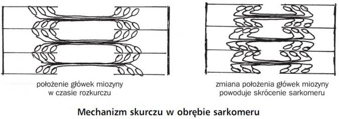 Mechanizm skurczu w obrębie sarkomeru. Położenie główek miozyny w czasie rozkurczu. Zmiana położenia główek miozyny powoduje skrócenie sarkomeru.