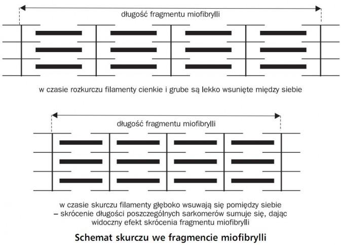 Schemat skurczu we fragmencie miofibrylli. Długość fragmentu miofibrylli. W czasie rozkurczu filamenty cienkie i grube są lekko wsunięte między siebie. W czasie skurczu filamenty głęboko wsuwają się pomiędzy siebie - skrócenie długości poszczególnych sarkomerów sumuje się, dając widoczny efekty skrócenia fragmentu miofibrylli.