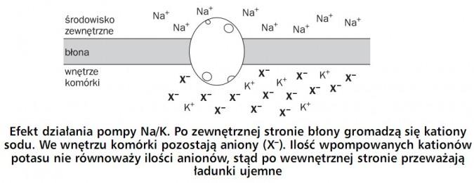 Efekt działania pompy Na/K. Po zewnętrznej stronie błony gromadzą się kationy sodu. We wnętrzu komórki pozostają aniony (X-). Ilość wpompowanych kationów potasu nie równoważy ilości anionów, stąd po wewnętrznej stronie przeważają ładunki ujemne. Środowisko zewnętrzne, błona, wnętrze komórki.