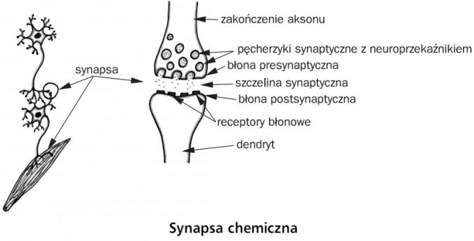 Synapsa chemiczna. Synapsa, zakończenie aksonu, pęcherzyki synaptyczne z neuroprzekaźnikiem, błona presynaptyczna, szczelina synaptyczna, błona postsynaptyczna, receptory błonowe, dendryt.