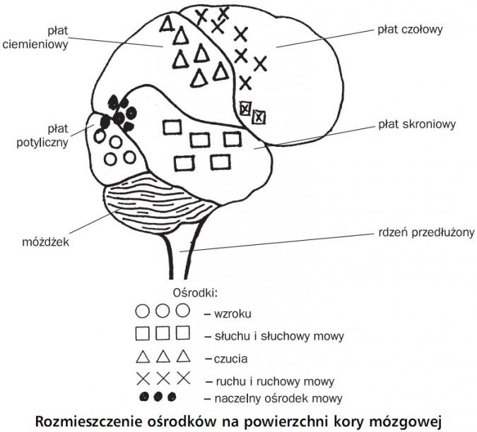 Rozmieszczenie ośrodków na powierzchni kory mózgowej. Płat ciemieniowy, płat potyliczny, móżdżek, płat czołowy, płat skroniowy, rdzeń przedłużony.
