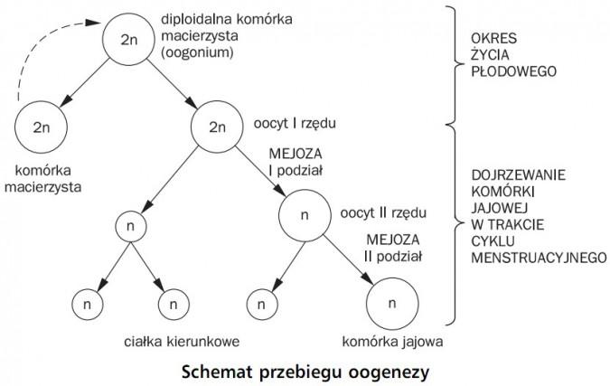 Schemat przebiegu oogenezy. Komórka macierzysta, diploidalna komórka macierzysta (oogonium), oocyt I rzędu, mejoza (I podział), oocyt II rzędu, mejoza (II podział), ciałka kierunkowe, komórka jajowa. Okres życia płodowego, dojrzewanie komórki jajowej w trakcie cyklu menstruacyjnego.