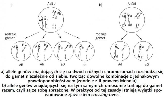 Geny sprzężone. Allele genów znajdujących się na dwóch różnych chromosomach rozchodzą się do gamet niezależnie od siebie, tworząc dowolne kombinacje z jednakowym prawdopodobieństwem (zgodnie z II prawem Mendla). Allele genów znajdujących się na tym samym chromosomie trafiają do gamet razem, czyli są ze sobą sprzężone. W praktycie od tej zasady istnieją wyjątki spowodowane zjawiskiem crossing-over.