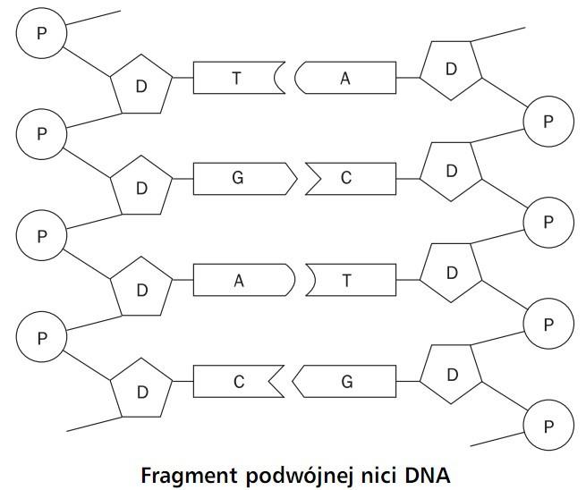 Fragment podwójnej nici DNA.