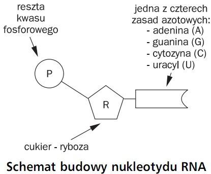Schemat budowy nukleotydu RNA. Reszta kwasu fosforowego, jedna z czterech zasad azotowych: adenina (A), guanina (G), cytozyna (C), uracyl (U), cukier - ryboza.