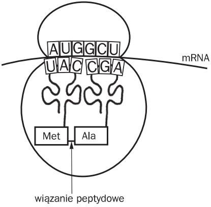 Elongacja. mRNA, Met, Ala, wiązanie peptydowe.