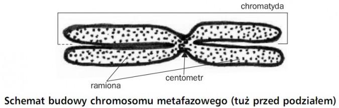 Schemat budowy chromosomu metafazowego (tuż przed podziałem). Chromatyda, ramiona, centometr.