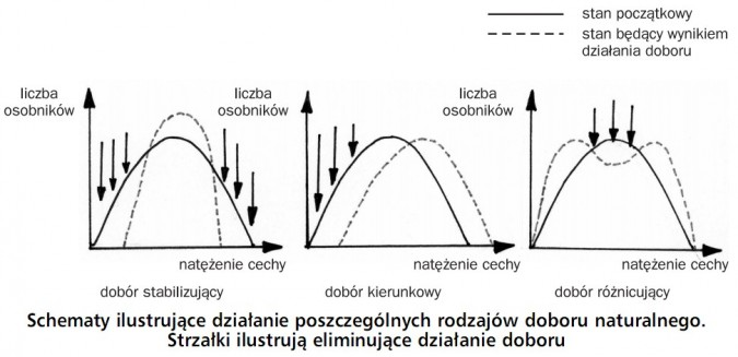 Schematy ilustrujące działanie poszczególnych rodzajów doboru naturalnego. Strzałki ilustrują eliminujące działanie doboru. Stan początkowy, stan będący wynikiem działania doboru. Liczba osobników, natężenie cechy. Dobór stabilizujący, dobór kierunkowy, dobór różnicujący.