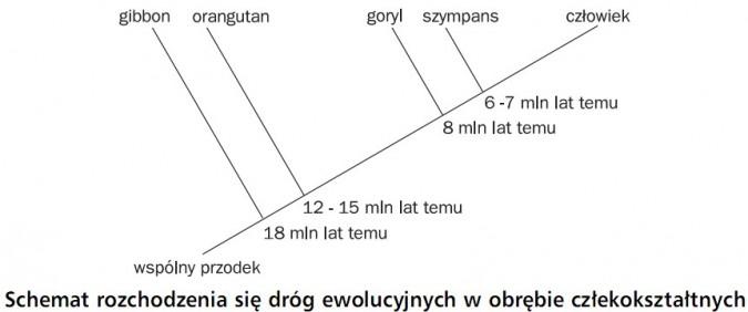 Schemat rozchodzenia się dróg ewolucyjnych w obrębie człekokształtnych. Wspólny przodek, gibbon (18 mln lat temu), orangutan (12-15 mln lat temu), goryl (8 mln lat temu), szympans (6-7 mln lat temu), człowiek.