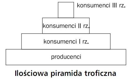 Ilościowa piramida troficzna. Producenci, konsumenci I rzędu, konsumenci II rzędu, konsumenci III rzędu.